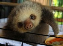 Baby Sloth from Sloth Sanctuary 3.jpg