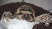 Baby Sloth from Sloth Sanctuary 5.jpg